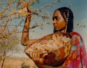 pic of Ethiopian woman harvesting myrrh