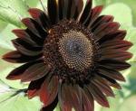 chocolate sunflower