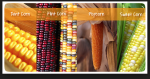 Food habits pic of corn