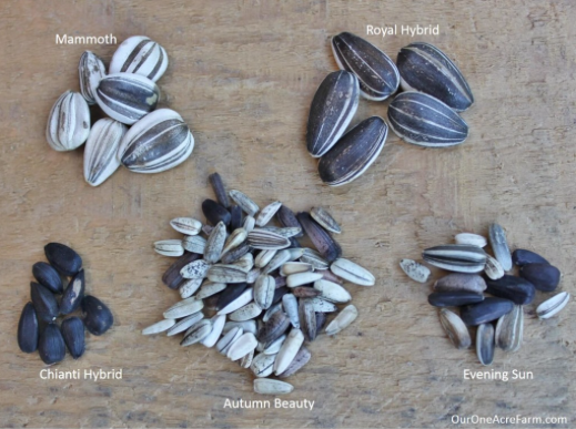 pic of sunflower seeds