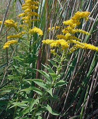 goldenrod photo herb