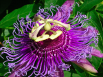 pic of purple passion flower nature's living energy