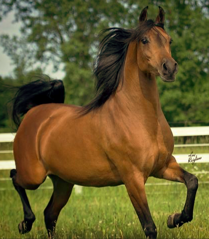 pic of pony arabian stallion for quiz energy determination