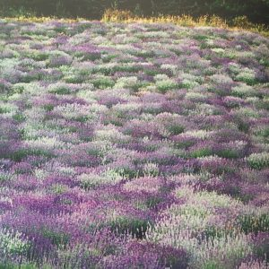 pic of lavender field