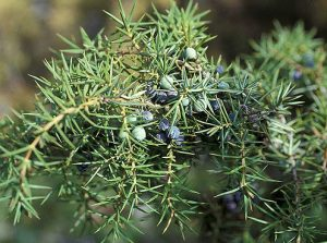 pic of juniper