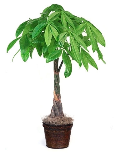 pic of money tree