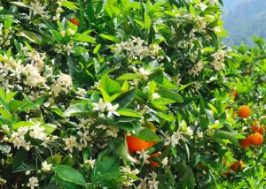 pic of neroli to beat cravings