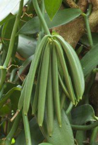 vanilla-pods-growing